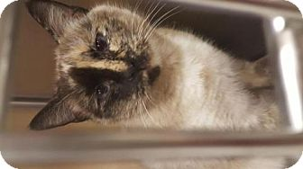 Siamese Cat for adoption in Cochran, Georgia - Primrose
