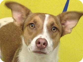 Border Collie Mix Dog for adoption in PHOENIX, Arizona - Abby
