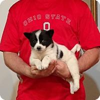 Adopt A Pet :: Louie - Gahanna, OH
