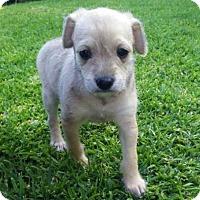 Adopt A Pet :: Rex - La Habra Heights, CA