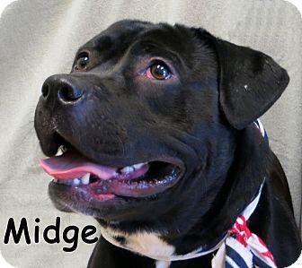 Pit Bull Terrier/Basset Hound Mix Dog for adoption in Warren, Pennsylvania - Midge