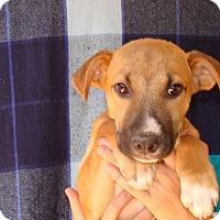 Adopt A Pet :: Maple - Oviedo, FL