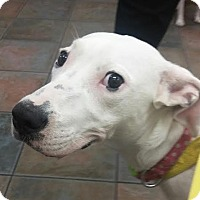 Adopt A Pet :: Lady Molly - St Petersburg, FL