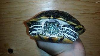 Turtle - Other for adoption in Markham, Ontario - Donashello