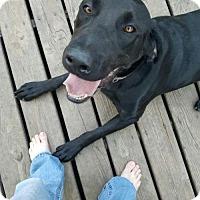 Labrador Retriever Dog for adoption in Estherville, Iowa - Dozer