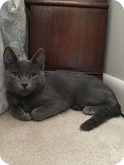 Domestic Shorthair Kitten for adoption in Cincinnati, Ohio - Gem