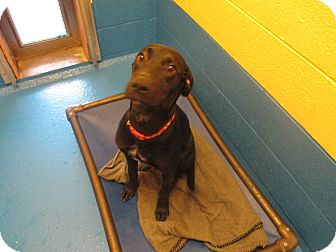 Labrador Retriever Mix Dog for adoption in Delta, Colorado - Marta