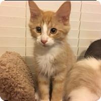 Adopt A Pet :: Ringo - Kennedale, TX