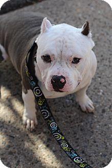 Staffordshire Bull Terrier/English Bulldog Mix Dog for adoption in Mount Laurel, New Jersey - Baloo