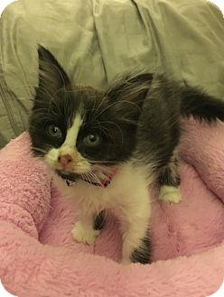 Domestic Longhair Kitten for adoption in Livonia, Michigan - C24 Litter-Marabelle-ADOPTED
