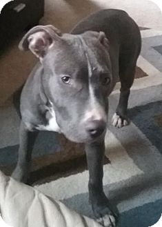Pit Bull Terrier/American Pit Bull Terrier Mix Puppy for adoption in Fort Wayne, Indiana - Holly