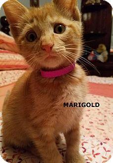 Domestic Shorthair Kitten for adoption in Greensburg, Pennsylvania - Marigold