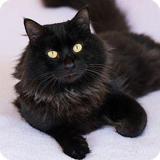 Domestic Mediumhair Cat for adoption in Houston, Texas - Webber