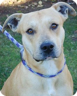 Labrador Retriever/American Pit Bull Terrier Mix Dog for adoption in Red Bluff, California - Roman-URGENT