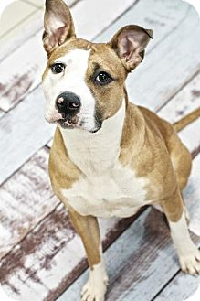 Boxer/American Bulldog Mix Dog for adoption in Oak Creek, Wisconsin - Lola - LOVES kids!