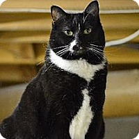 Domestic Shorthair Cat for adoption in Mount Airy, North Carolina - Flo - COURTESY
