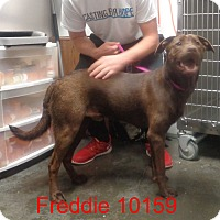 Adopt A Pet :: Freddie - baltimore, MD