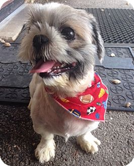 shih tzu rescue va virginia beach va shih tzu meet peyton a dog for adoption 9282