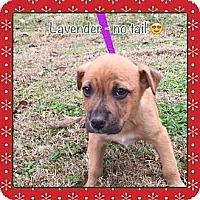 Adopt A Pet :: Lavender (ETAA) - Plainfield, CT