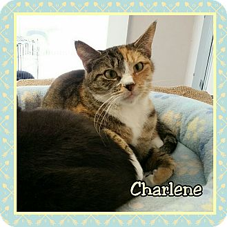 Calico Cat for adoption in Atco, New Jersey - Charlene