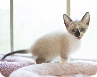 Domestic Shorthair Kitten for adoption in Houston, Texas - Kitten 8