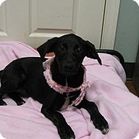 Adopt A Pet :: CiCi - Groton, MA