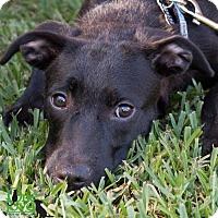 Adopt A Pet :: Prim - Savannah, GA