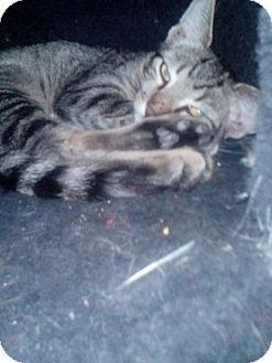 Domestic Shorthair Kitten for adoption in Glendale, Arizona - Franklin