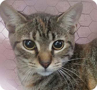 Domestic Shorthair Cat for adoption in Ocala, Florida - Emmy