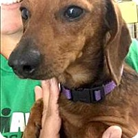 Dachshund/Chihuahua Mix Dog for adoption in Cleveland, Tennessee - Rowdy