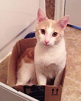 Domestic Shorthair Cat for adoption in Houston, Texas - Madmartigan
