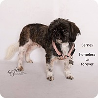 Shih Tzu Mix Dog for adoption in Arcadia, California - Barney