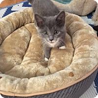 Adopt A Pet :: Serena - Whitehall, PA