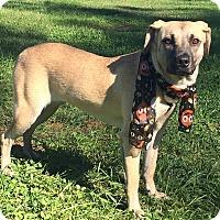 Adopt A Pet :: CALLIE - Lexington, NC