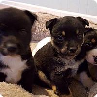 Adopt A Pet :: Brittany - Denver, CO