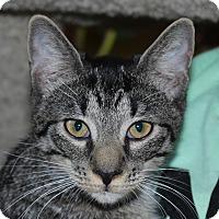 Adopt A Pet :: Diglett - Fairfax, VA