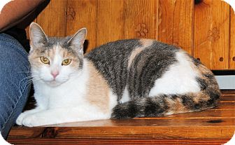 Domestic Shorthair Cat for adoption in Parsons, Kansas - Fiona