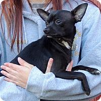 Adopt A Pet :: Jack - Joplin, MO