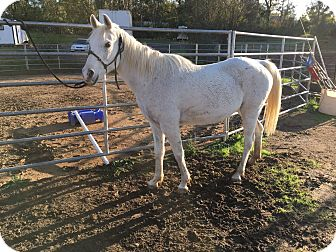 Arabian/Other/Unknown Mix for adoption in Newcastle, California - Ally