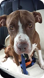Pit Bull Terrier Mix Dog for adoption in Tomball, Texas - Pico