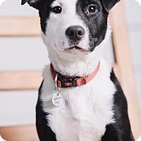 Adopt A Pet :: Domino - Portland, OR