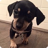 Adopt A Pet :: Logan (V) - Santa Ana, CA