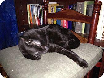 Domestic Shorthair Cat for adoption in New York, New York - Joe