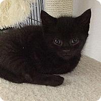 Adopt A Pet :: Black Jack & Black Mac - Island Park, NY