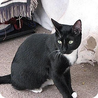Domestic Mediumhair Cat for adoption in Havana, Florida - Sampson