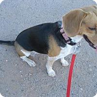 Adopt A Pet :: Lucy A - Phoenix, AZ