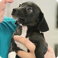 Adopt A Pet :: Norman - Marietta, GA