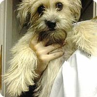 Adopt A Pet :: SCARLETTE MALTIEPOO MIX PUP - Pompton lakes, NJ