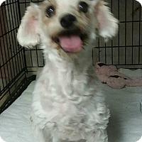 Adopt A Pet :: Nora - House Springs, MO