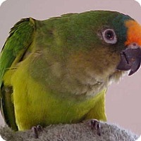 Conure for adoption in Frederick, Maryland - Eddie